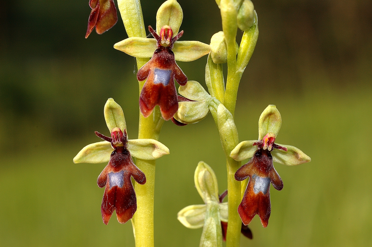 Ophrys insectifera - moscaria