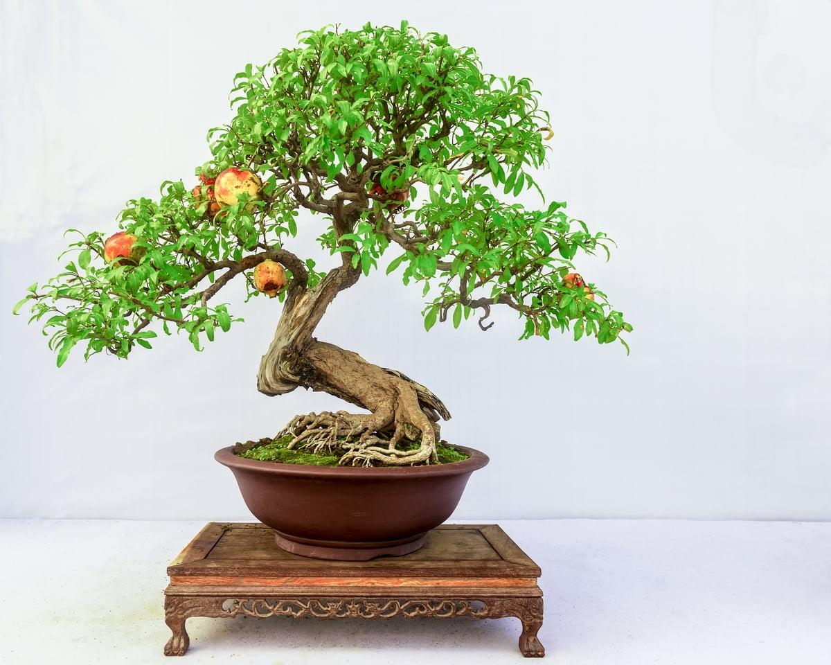 melograno bonsai piante da regalare