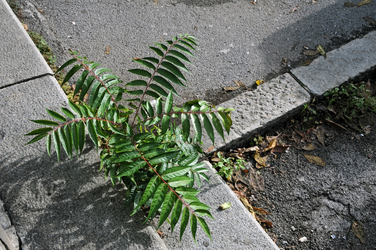 Ailanthus altissima - ailanto
