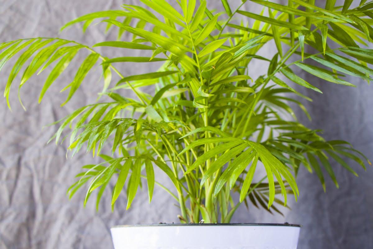 piante per purificare aria - Chrysalidocarpus lutescens - Areca