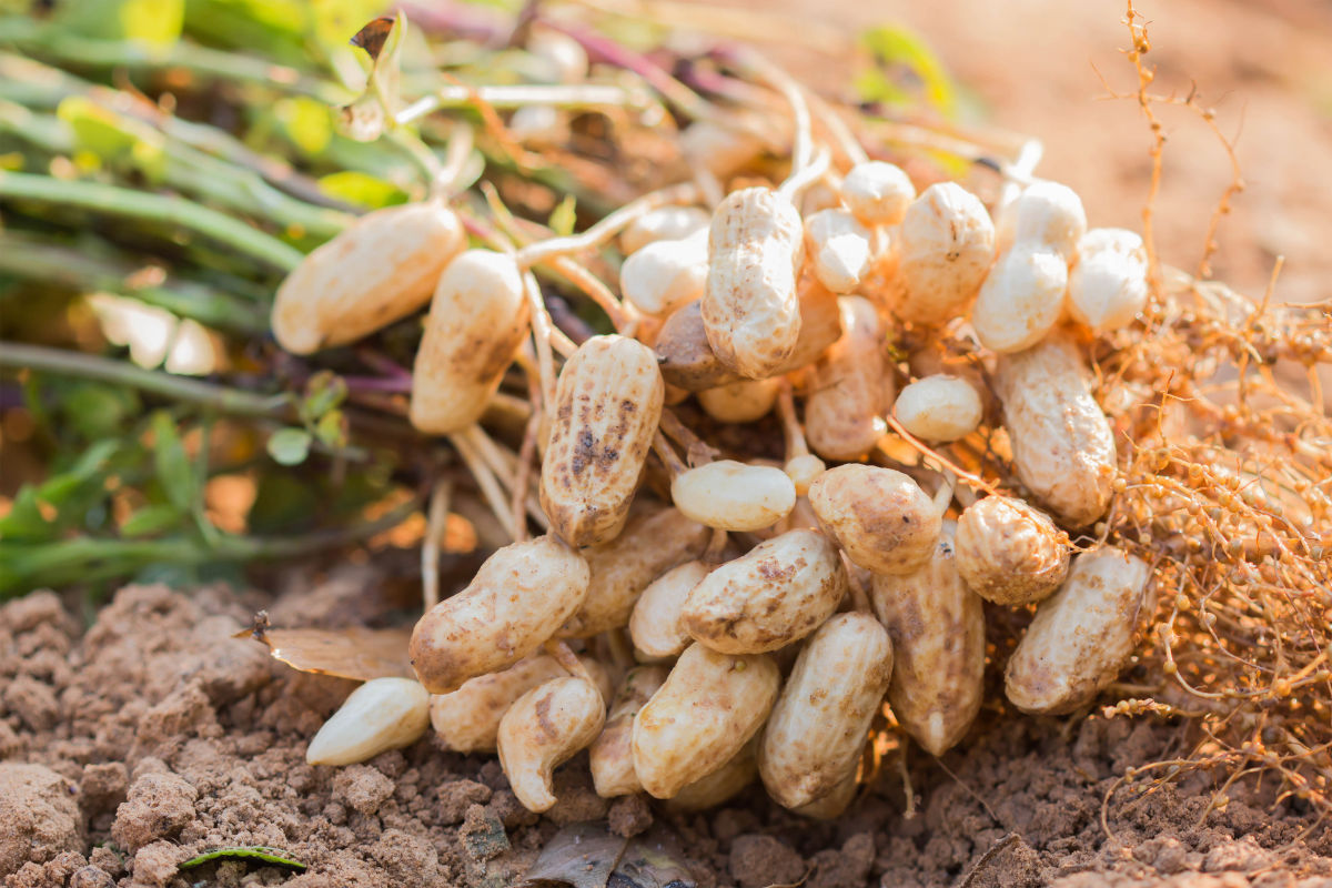 arachidi - coltivazione