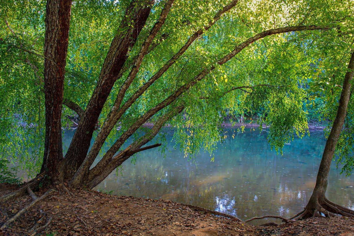 Betulla di fiume (Betula nigra)