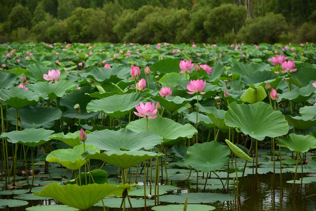 fiore di loto asiatico - Nelumbo nucifera