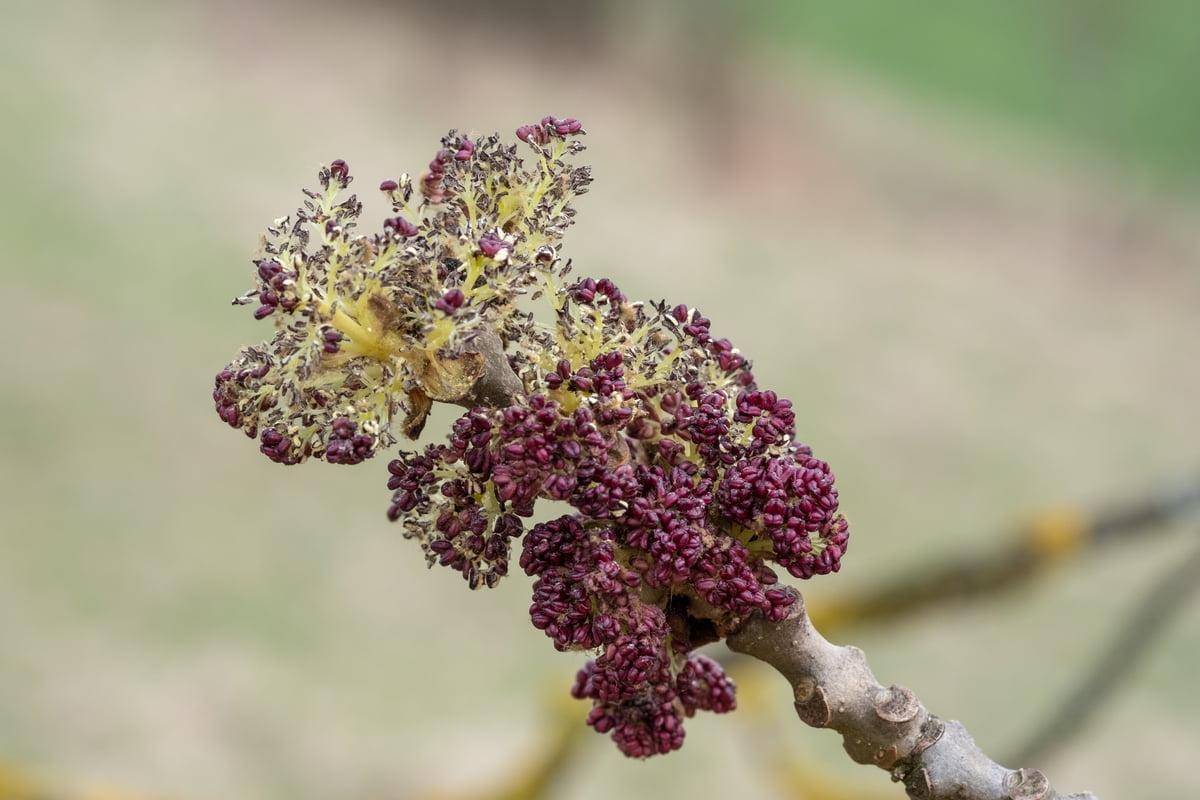 Frassino maggiore - Fraxinus excelsior