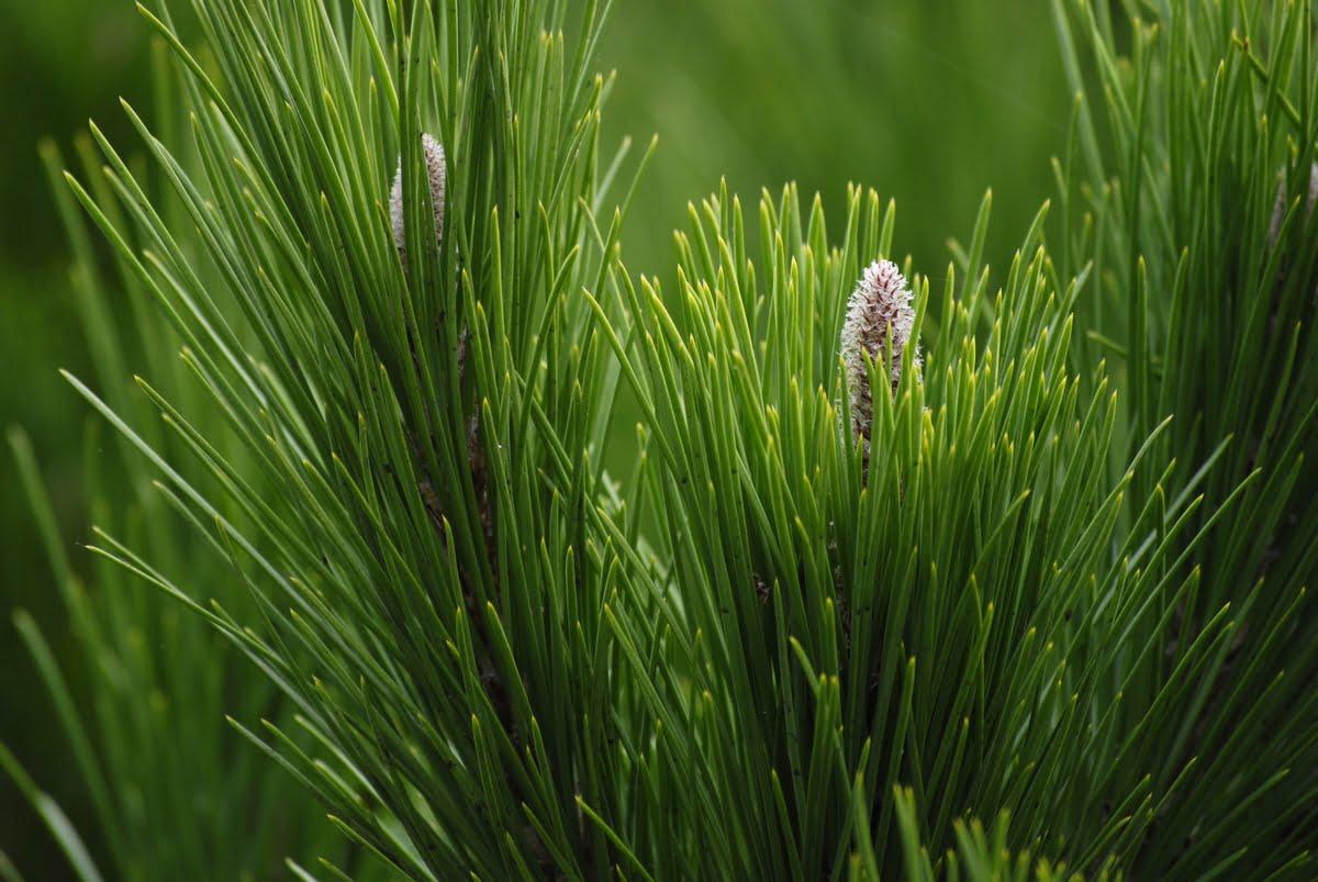 Particolare di pino domestico (Pinus pinea)