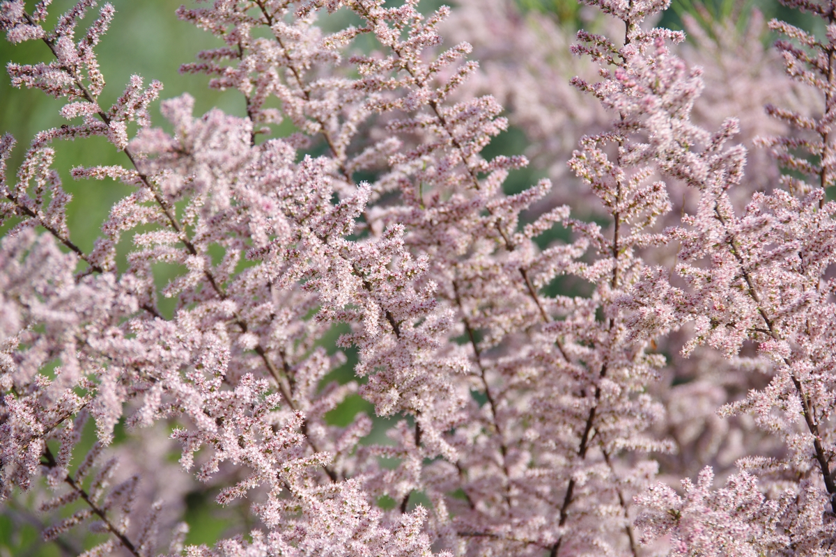 Tamarix ramosissima - Tamerice